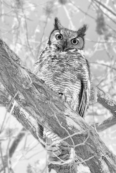 """""""Wisdom"""". A few years back I had three baby owls growing up in the cottonwoods near where I live. For two more years they came back to visit. I always knew when they were there because a big murder of crows would mob them without mercy (they didn't really care)."""