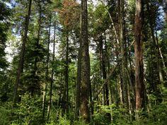 Secteur Saint-Fabien, sentier #6 Le Portage #nature #tree #forest #walking #walkforest