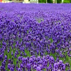 Cheap seeds flower seed, Buy Quality lavender seeds directly from China flower seeds Suppliers: / bag French Provence Lavender Seeds very fragrant organic lavender seeds Flower seeds for Home Garden Bonsai Flower Seeds, Flower Pots, Lavandula Angustifolia Munstead, Lavender Seeds, Chlorophytum, Plantas Bonsai, Provence Lavender, Indoor Bonsai, Home Garden Plants
