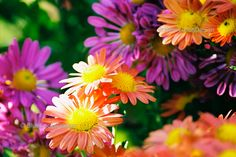 8x10 Fine Art Abstract Photograph - Colorful Shasta Daisies. $30.00, via Etsy.