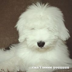 ...can't seeee youuuuu. ~Bernadette the Old English Sheepdog