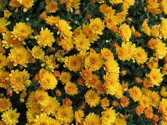 The COLOR yellow is used consistently throughout the image in the flowers. Mellow Yellow, Mustard Yellow, Art Du Monde, No Rain, Happy Colors, My Sunshine, Yellow Flowers, Yellow Sunflower, My Favorite Color