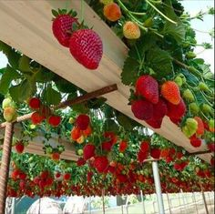 Love this idea: could use rain gutters on top of a perogola to make planters for short rooted growers such as strawberries. Looks beautiful in this. And delicious.