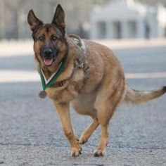 Military dog who lost leg in Afghanistan awarded highest war medal for animals Army Dogs, Police Dogs, Military Working Dogs, Military Dogs, Animal Heros, German Shepherd Dogs, German Shepherds, Dog Harness, Dog Leash