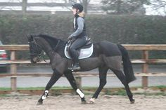 15.2hh gorgeous black seven-year-old gelding for sale | HorseDeals.co.uk
