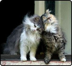 Maine Coons they are the most affectionate kitties.