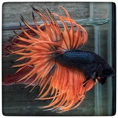 AquaBid.com - Item # fwbettasct1461157801 - Crown tail V.cross(1747) by 3636bettaberry - Ends: Wed Apr 20 2016 - 08:10:01 AM CDT