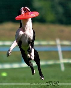 Boston Terrier named Melvin at a dog frisbee competition in Czech Republic. http://www.bterrier.com/frisbee-competition-with-melvin-in-czech-republic/