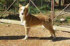 Foi aprovado ontem em Assembleia Geral do CPC o estalão provisório do Cão do Barrocal Algarvio que é desta forma a nossa 11ª Raça Portuguesa. /  The newest Portuguese dog breed (the 11th) - Cão do Barrocal Algarvio