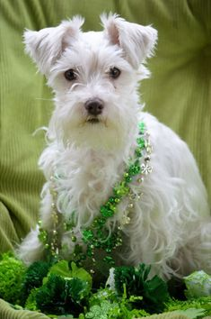 Darling White Mini Schnauzer and her name is Sophie what a cute name