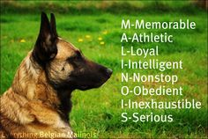 Malinois - i love these dogs