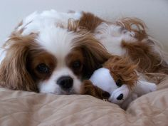 My Blenheim Cavalier King Charles girl!