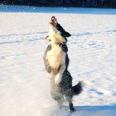 #Finlay #bordercollie #dog #zenfone #snow