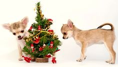 Chihuahua Puppies Decorating A Christmas Tree Stock Photo - Image of golden, chiwawa: 16069168 Chihuahua Love, Chihuahua Puppies, Chihuahuas, Christmas Animals, Christmas Pets, Miniature Christmas, Christmas Cards, Winter Holidays, Happy Holidays