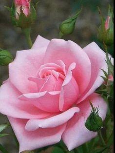 Bonita rosa rosada | Pretty pink rose - #flores #flowers