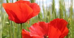 Propiedades de las semillas de amapola, ¿aún no las conoces?
