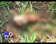 Gir-Somnath: A minor girl has been killed by Leopard when she was sleeping with her parents at night. The leopard caught the girl and dragged her to a farm where it killed her. Villagers found the girl in the morning.   Subscribe to Tv9 Gujarati https://www.youtube.com/tv9gujarati Like us on Facebook at https://www.facebook.com/tv9gujarati Follow us on Twitter at https://twitter.com/Tv9Gujarat Follow us on Dailymotion at http://www.dailymotion.com/GujaratTV9