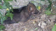 Durante un sopralluogo, un veterinario e i tecnici del Parco nazionale d'Abruzzo Lazio e Molise hanno scoperto un cucciolo di lupo nell'area faunistica di Civitella Alfedena. Dopo qualche settimana, la guida del Parco, Pietro Santucci, ha scoperto che i cuccioli sono ben due e li ha fotografati con