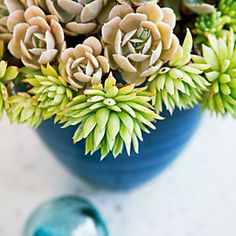Echeverias and other small succulents, planted in a blue bowl, look like underwater creatures.
