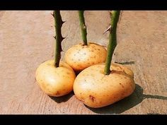 Put A Rose Cutting In A Potato And Watch What Happens - YouTube