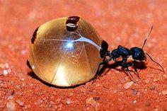 formigas da africa - Pesquisa Google