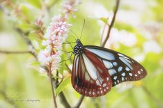 Chestnut tiger butterfly ... by entabailey. @go4fotos
