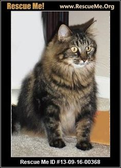 — North Carolina Maine Coon Rescue — ADOPTIONS — RescueMe.Org