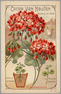 Geranium Illustration | Content in a Cottage