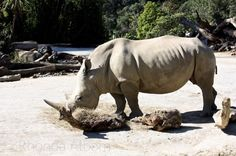 Rhino at the Auckland Zoo