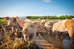 Learn the basics of how to start free range pig farming on your homestead to provide your family and friends with home-raised pork.