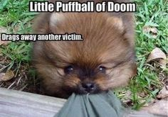 pomeranian funny dog meme   Pomeranian Meme #funnydogs