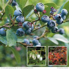 Highbush blueberry: Clusters of the white flowers dangle from highbush blueberry's stems in spring. In midsummer...
