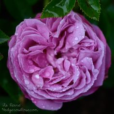 La Reine (Hybrid Perpetual) 1842. A grand addition to any cottage garden, La Reine will enchant you with luscious medium pink blooms and a heady, old rose aroma all summer long. Grows up to 4 ft tall. More gorgeous photos & info at Hedgerow Rose: http://hedgerowrose.com/rose-gardening/hybrid-perpetual-roses/2012/05/30/growing-la-reine-hybrid-perpetual-rose/