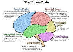 Human Brain and Neuron Coloring Pages, Labeling Worksheets, Charts ...