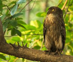 Brown Fish Owl (Bubo zeylonensis) Title:The Wise One! Location:Tadoba Tiger Reserve,Chandrapur, Maharashtra June 3rd 2017