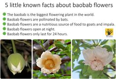 November-December is flowering season for Baobabs in the limpopo. Bet you don't know these little known astonishing facts about Baobab flowers! Le Baobab, Baobab Oil, Baobab Tree, Baobab Powder, Oil For Dry Skin, Tree Seeds, Planting Flowers, Plant Based, November