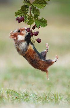 "beautiful-wildlife: "" Acrobat by Julian Ghahreman Rad Wild living Hamster """