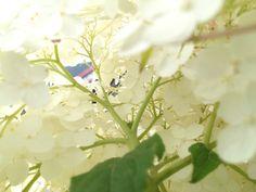 紫陽花を裏から