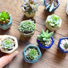 . 六角形のミニ陶鉢入り . #多肉植物 #陶器#豆鉢 #plants #succulents #Kitowa #樹と環 #名古屋