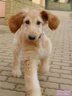 These are one of the oldest dog breeds in the world. They are elegant, aloof, funny and loyal. Afghan Hound& The post Afghan Hound Puppy appeared first on Gwen Howarth Dogs. Hound Dog Breeds, Hound Puppies, Dogs And Puppies, Doggies, Afghan Hound Puppy, Dog Breeds That Dont Shed, Old Dogs, Beautiful Dogs, Cute Baby Animals