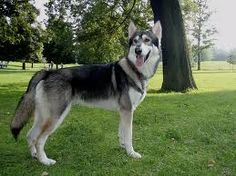 own a Saarloos Wolfhound Utonagan Dog, Tamaskan Dog, Northern Inuit Dog, Animals And Pets, Cute Animals, Saarloos, Types Of Dogs, Old Dogs, Beautiful Dogs