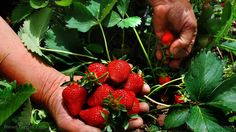 awesome Working with nature to reduce pesticide use: Farmers around the world are rediscovering the increased yields offered by biodiversity Gardening For Beginners, Gardening Tips, Krause Berry Farm, Herb Farm, Strawberry Picking, Australian Bush, Summer Berries, Summer Dishes, Healthy Food Choices