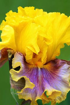 "Iris ""In Living Color""  | Regina Geoghan, Fine Art America"