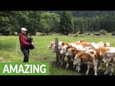 He Started Playing His Accordion In A Field. Watch What The Cows Do!