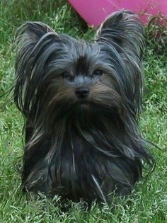 The Popular Pet and Lap Dog: Yorkshire Terrier - Champion Dogs Yorkies, Yorkie Puppy, Biewer Yorkie, Pomeranians, Yorkshire Terrier Haircut, Yorkshire Terrier Puppies, Terrier Dogs, Cute Puppies, Cute Dogs