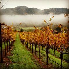 #rodneystrong #wine #sonomacounty #harvest #vineyard | photo: Ryan Decker, Viticulturalist