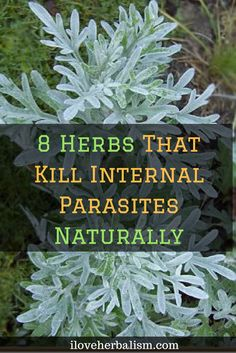 8 Herbs That Kill Internal Parasites Naturally
