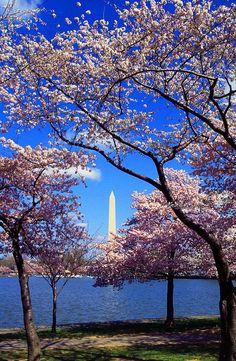 Cherry Trees in Washington, DC