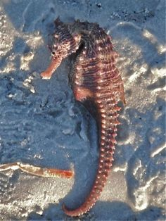 Sea Horse on Sanibel Island, Florida beach. Did you know when a seahorse dies, every one of them dies in a different position. There are no two exactly alike. Florida Travel, Florida Beaches, Sanibel Florida, Clearwater Florida, Sarasota Florida, Beach Travel, Captiva Island, Sea Dragon, I Love The Beach