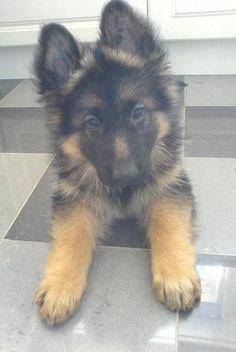 German Shepherd Puppy!! ~ by delia